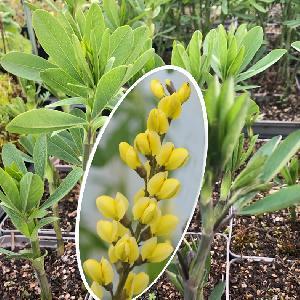 BAPTISIA australis 'Lemon Meringue'