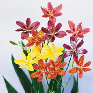 BELAMCANDA chinensis 'Grand Hybride'