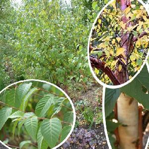 BETULA albosinensis var. septentrionalis