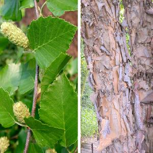 BETULA nigra Heritage (= 'Cully')