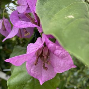 BOUGAINVILLEA 'Violet de Mèze'