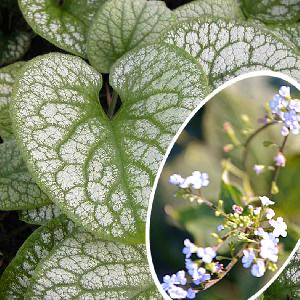 BRUNNERA macrophylla 'Alexander Great'