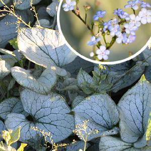 BRUNNERA macrophylla 'Alchemy Silver' ®