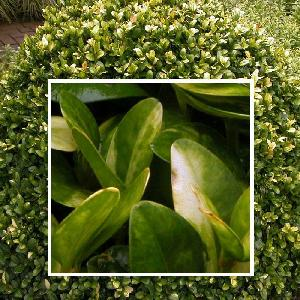 BUXUS sempervirens 'Aureovariegata' 100/120
