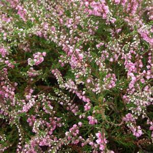 CALLUNA vulgaris 'Cramond'