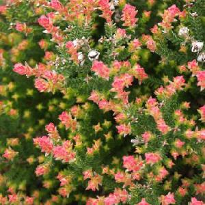 CALLUNA vulgaris 'Flamingo'