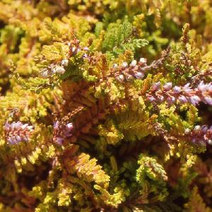 CALLUNA vulgaris 'Wickwar Flame'