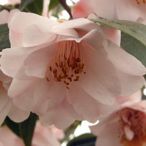 CAMELLIA 'Christmas Daffodil'