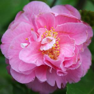 CAMELLIA 'Fragrant Joy'