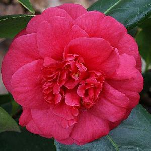 CAMELLIA japonica 'Bénodet'