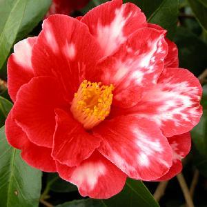 CAMELLIA japonica 'Donckelaeri'