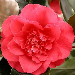 CAMELLIA japonica 'Elegans'
