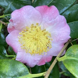 CAMELLIA japonica 'Furo-An'