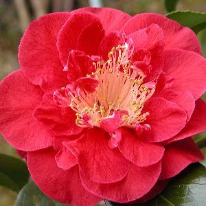 CAMELLIA japonica 'Guilio Nuccio'