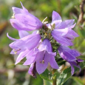 CAMPANULA carpatica 'Gaudi Violet'
