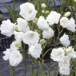CAMPANULA persicifolia 'Alba Plena'