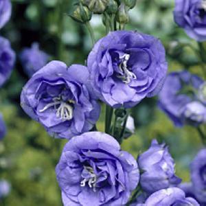 CAMPANULA persicifolia 'La Belle Blue'