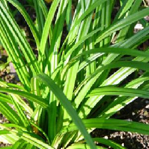CAREX morrowii ssp. foliosissima 'Irish Green'