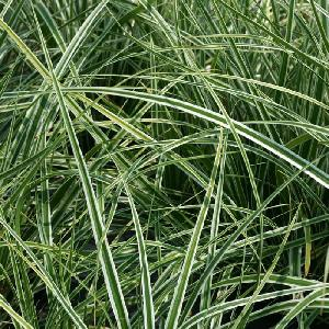 CAREX oshimensis 'Everest' ('Fiwhite') ®