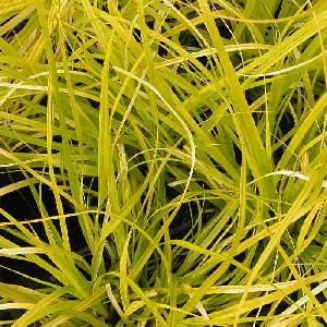 CAREX oshimensis 'Everio'