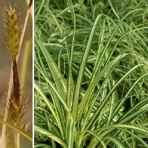 CAREX oshimensis 'Evergold' (C. hachijoensis)