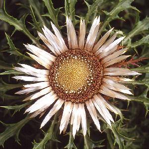 CARLINA acaulis ssp simplex