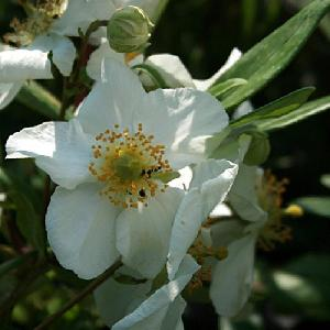 CARPENTERIA californica 'Bodnant'