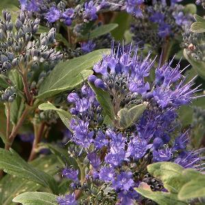 CARYOPTERIS x clandonensis 'Grand Bleu' (='Inoveris')