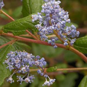 CEANOTHUS 'Autumnal Blue'