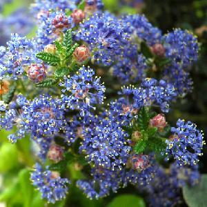 CEANOTHUS 'Puget Blue'
