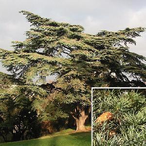 CEDRUS libani subsp. atlantica