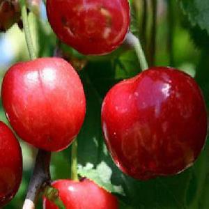 Cerisier 'Cerise Anglaise Hative'