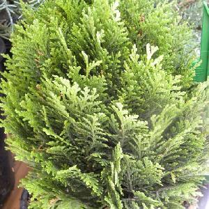 CHAMAECYPARIS lawsoniana 'Minima Glauca'