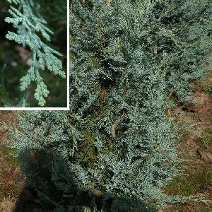CHAMAECYPARIS lawsoniana 'Pembury Blue'