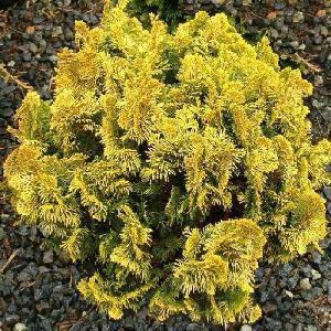 CHAMAECYPARIS obtusa 'Nana Aurea'