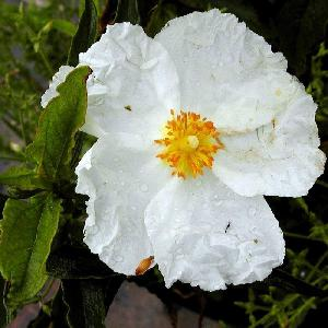 CISTUS x aguilarii f.immaculatus