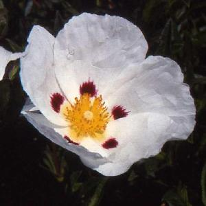 CISTUS aguilarii 'Maculatus'