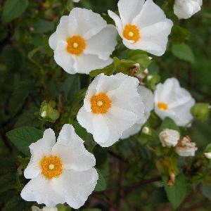 CISTUS hybridus (C. corbariensis)