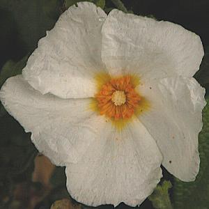 CISTUS x obtusifolius