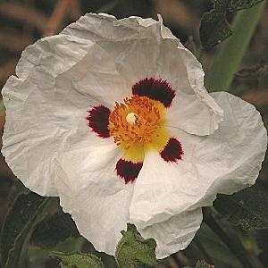 CISTUS x purpureus 'Alan Fradd'
