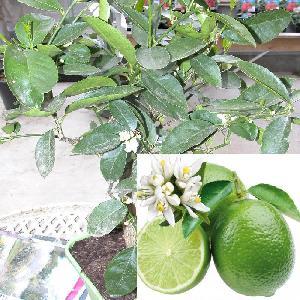 Lime de Tahiti (CITRUS latifolia)