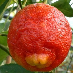 Lime rouge (CITRUS limonia 'Osbeck')