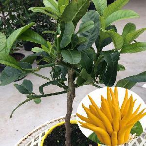 Citronnier 'Main de Bouddha' (CITRUS medica var. sarcodactylis)