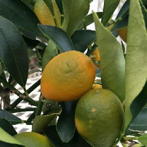 Kumquat ( = x CITROFORTUNELLA microcarpa)