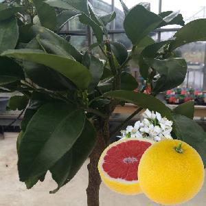 Pomelo à chair rose (CITRUS paradisi 'Rio Red')