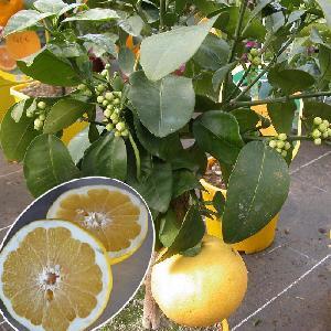 Pomelo à chair jaune (CITRUS x paradisi)