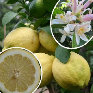 Citronnier '4 saisons' (CITRUS limon)