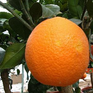 Oranger (CITRUS sinensis) T100/120