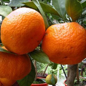 Mandarinier 'Satsuma' (CITRUS unshiu)