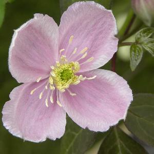CLEMATIS montana 'Pink Perfection'